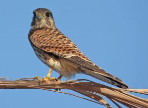 Edyptian-falcon