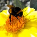 bumblebee-734660_640