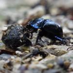 dung-beetle-54489_640
